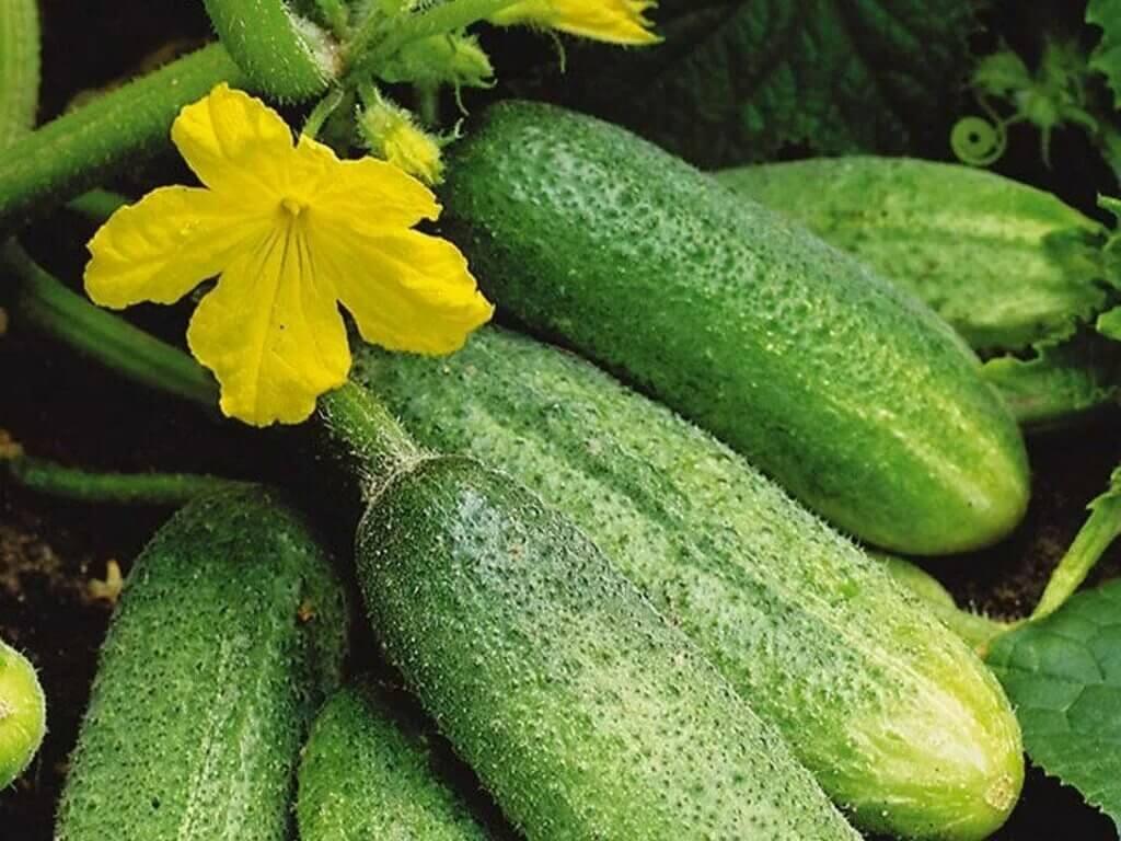 Дешевое средство получить большое количество завязей плодов огурцов