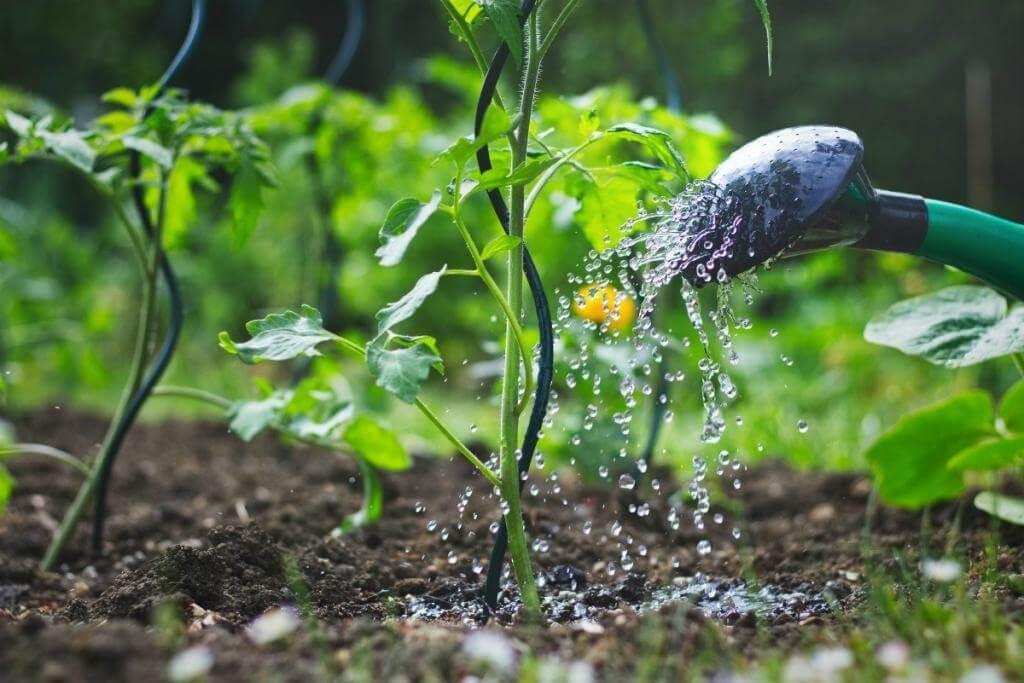 Важные правила полива томатов. Обратите внимание!