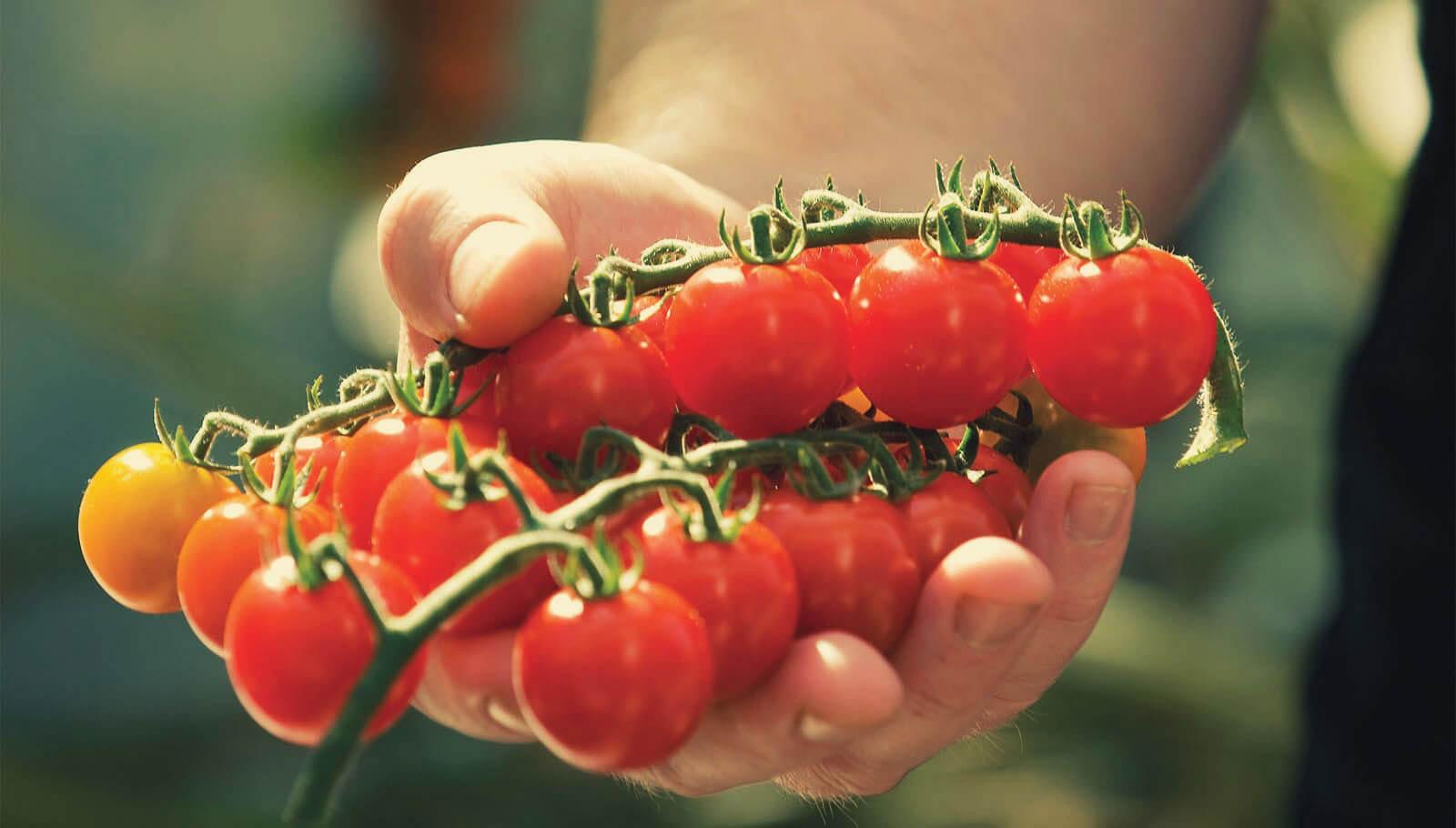 """Как вырастить сладкие и """"сахарные"""" помидоры?"""