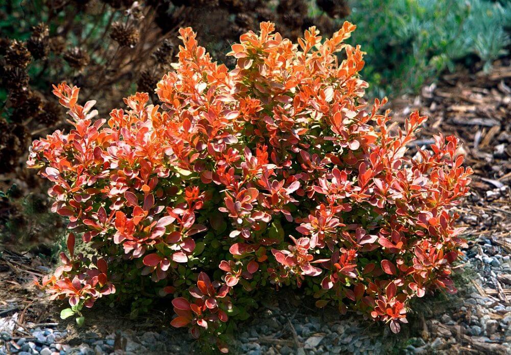 Эти цветы будут вас радовать до самой поздней осени