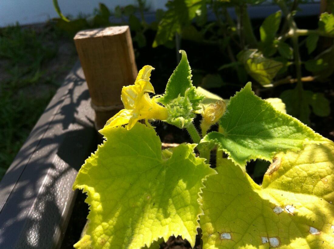 Листья огурца пожелтели по краю и сохнут. Как спасти растение?